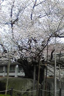 ノア流星群の神々-桜