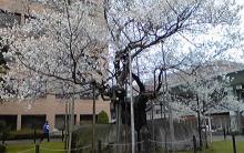 ノア流星群の神々-桜2