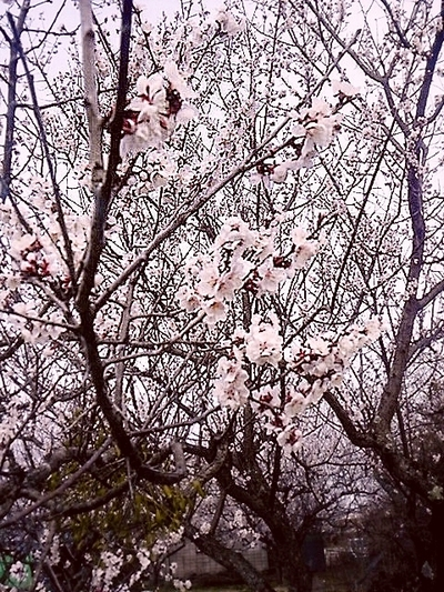 2016梅の花