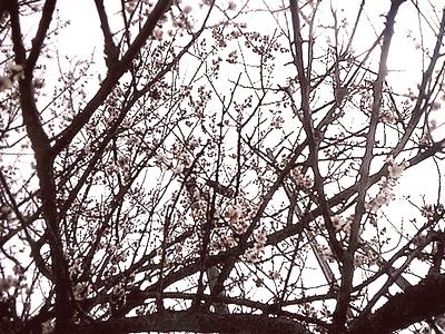 2016_2梅の花