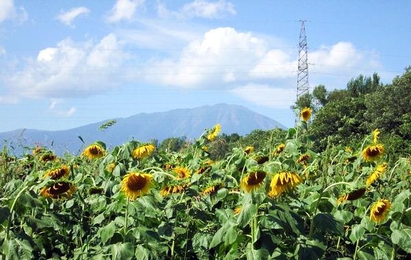 夏の終わりのひまわりと岩手山